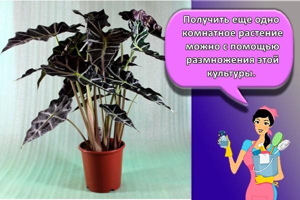 Получить еще одно комнатное растение можно с помощью размножения этой культуры.