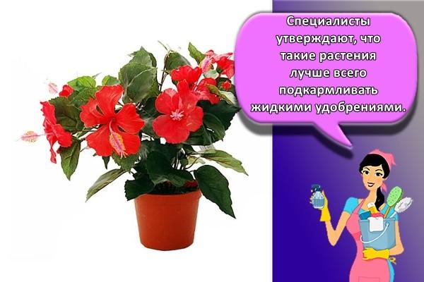 Специалисты утверждают, что такие растения лучше всего подкармливать жидкими удобрениями.