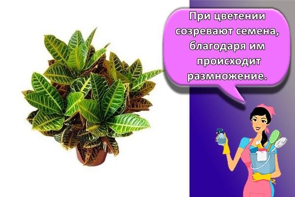При цветении созревают семена, благодаря им происходит размножение.