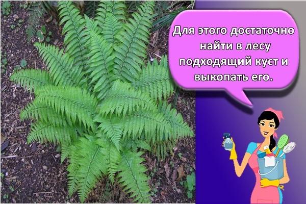 Для этого достаточно найти в лесу подходящий куст и выкопать его.