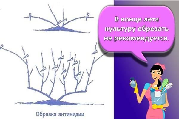 обрезка актинидия