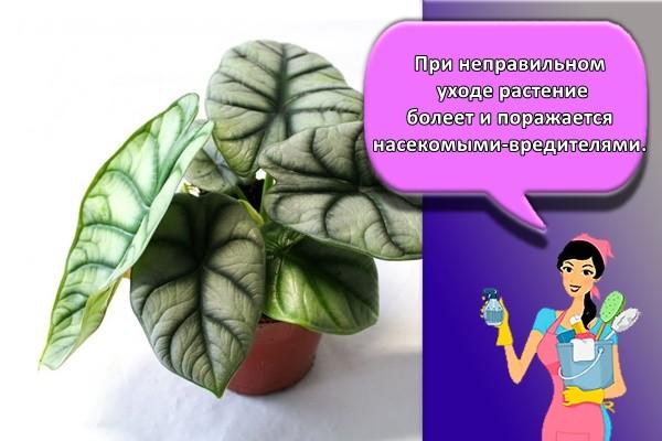 При неправильном уходе растение болеет и поражается насекомыми-вредителями.