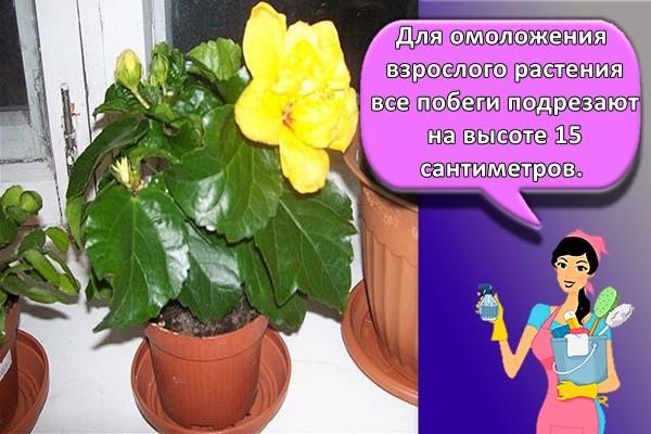 Для омоложения взрослого растения все побеги подрезают на высоте 15 сантиметров.