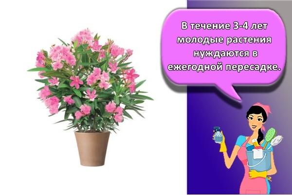 В течение 3-4 лет молодые растения нуждаются в ежегодной пересадке.