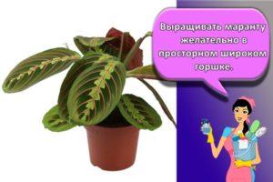 Уход за марантой в домашних условиях, правила посадки и советы по размножению