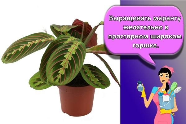 Выращивать маранту желательно в просторном широком горшке.