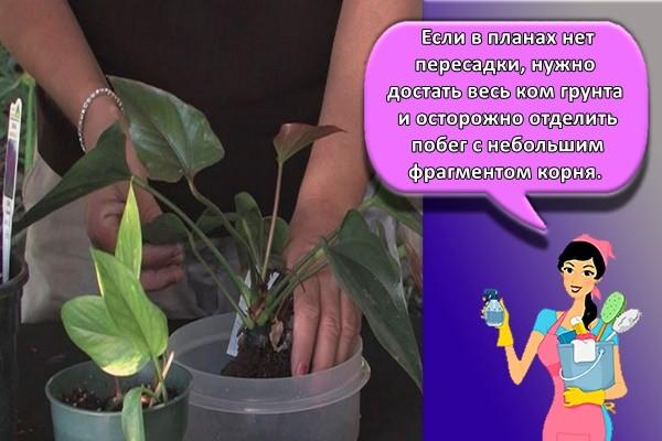 Если в планах нет пересадки, нужно достать весь ком грунта и осторожно отделить побег с небольшим фрагментом корня.