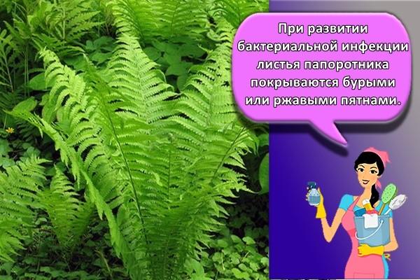 При развитии бактериальной инфекции листья папоротника покрываются бурыми или ржавыми пятнами.