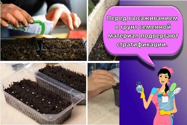 Перед высаживанием в грунт семенной материал подвергают стратификации.