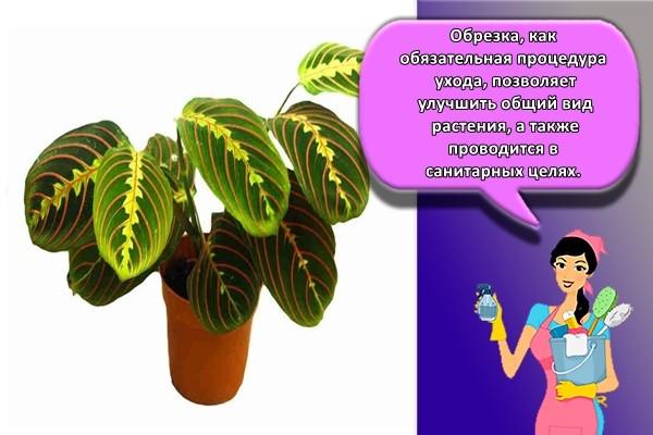 Обрезка, как обязательная процедура ухода, позволяет улучшить общий вид растения, а также проводится в санитарных целях.
