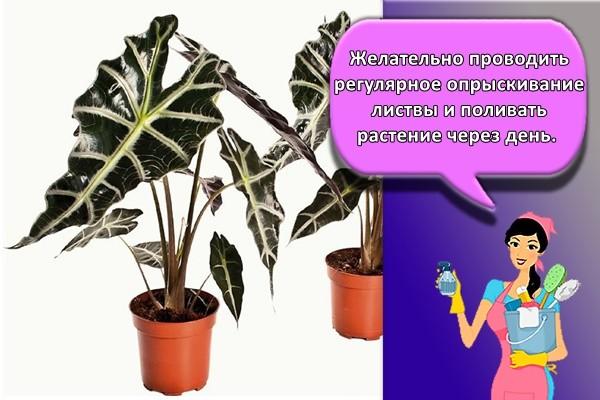 Желательно проводить регулярное опрыскивание листвы и поливать растение через день.