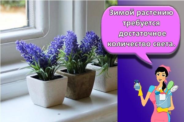 Зимой растению требуется достаточное количество света.