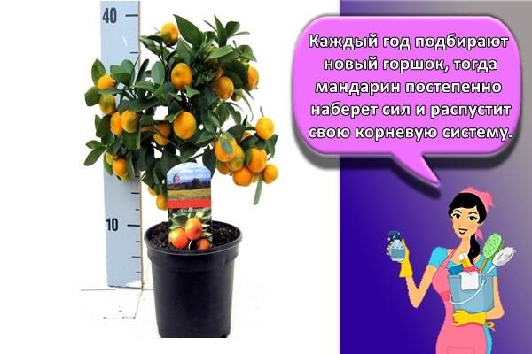 Каждый год подбирают новый горшок, тогда мандарин постепенно наберет сил и распустит свою корневую систему.