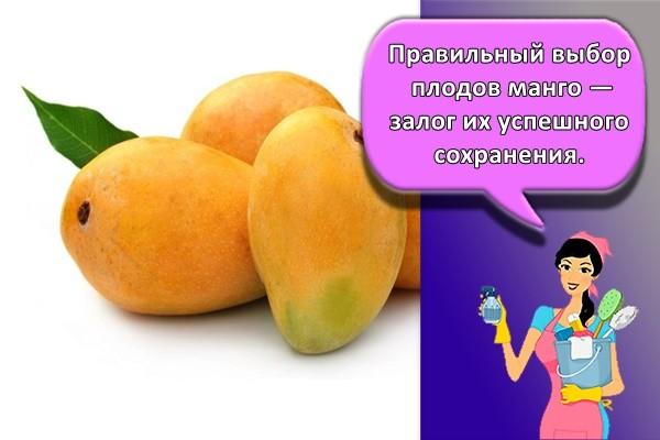 Правильный выбор плодов манго — залог их успешного сохранения.