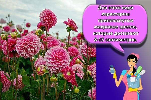 Для этого вида характерны приплюснутые махровые цветки, которые достигают 8-15 сантиметров.