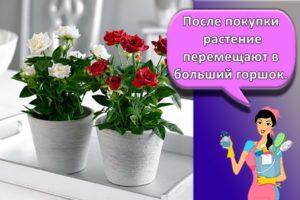 Правила посадки и ухода за розой Кордана в домашних условиях