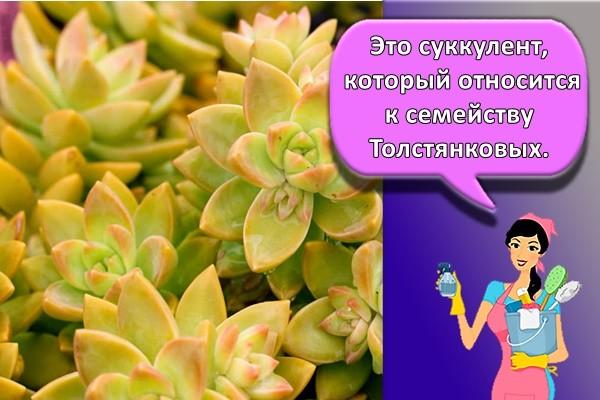 Это суккулент, который относится к семейству Толстянковых.