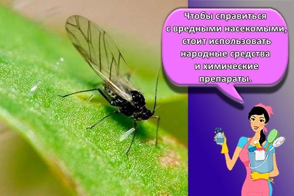 Чтобы справиться с вредными насекомыми, стоит использовать народные средства и химические препараты.