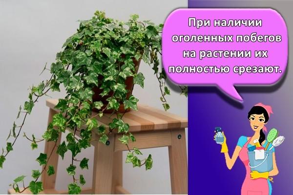 При наличии оголенных побегов на растении их полностью срезают.