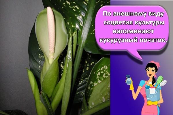 По внешнему виду соцветия культуры напоминают кукурузный початок.