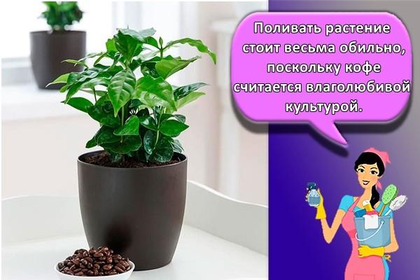 Поливать растение стоит весьма обильно, поскольку кофе считается влаголюбивой культурой.