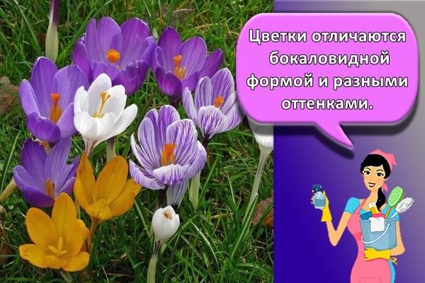 Цветки отличаются бокаловидной формой и разными оттенками.
