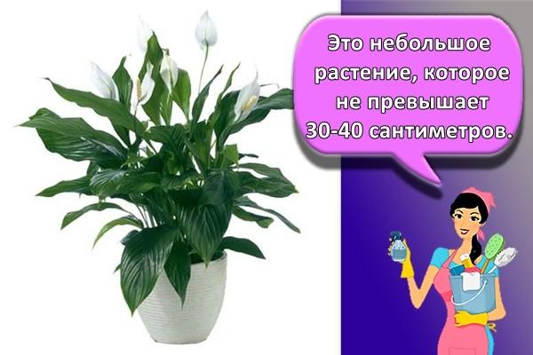 Это небольшое растение, которое не превышает 30-40 сантиметров.