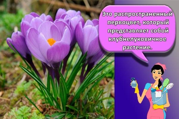 Это распространенный первоцвет, который представляет собой клубнелуковичное растение.