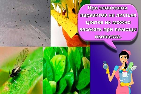 При скоплении паразитов на листьях цветка их можно засосать при помощи пылесоса.