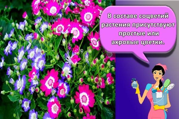 В составе соцветий растения присутствуют простые или махровые цветки.