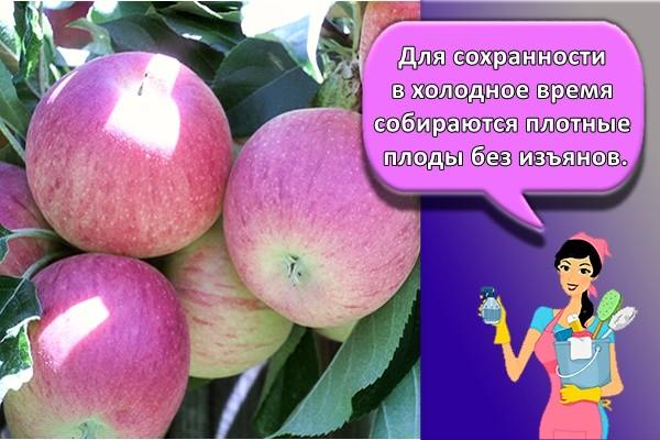 Для сохранности в холодное время собираются плотные плоды без изъянов.