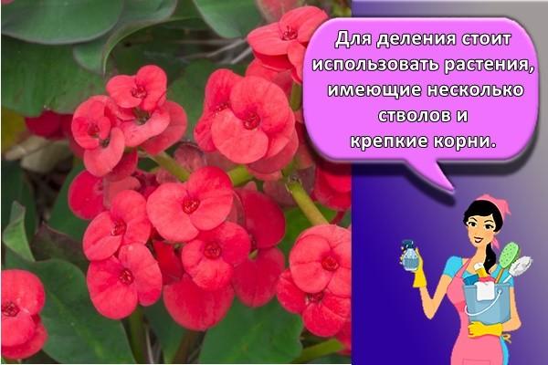 Для деления стоит использовать растения, имеющие несколько стволов и крепкие корни.
