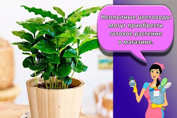Неопытные цветоводы могут приобрести готовое растение в магазине.