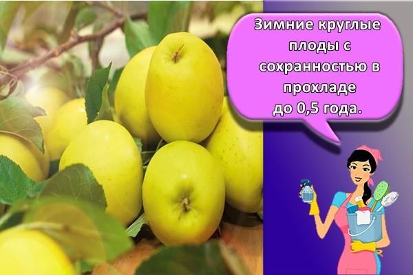 Зимние круглые плоды с сохранностью в прохладе до 0,5 года.
