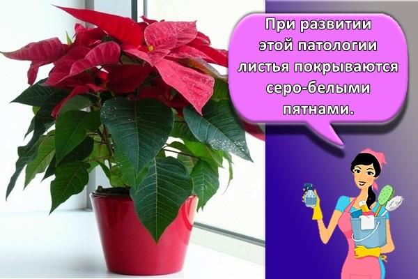 При развитии этой патологии листья покрываются серо-белыми пятнами.