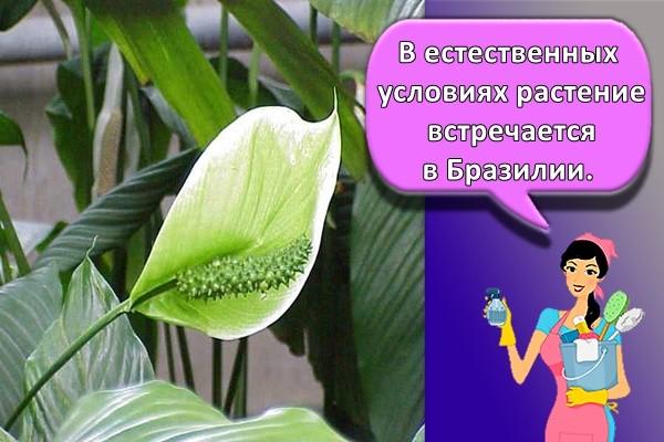 В естественных условиях растение встречается в Бразилии.