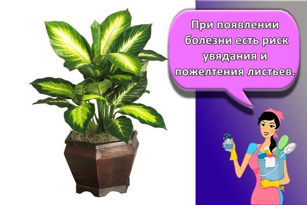 При появлении болезни есть риск увядания и пожелтения листьев.