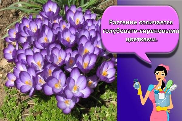 Растение отличается голубовато-сиреневыми цветками.