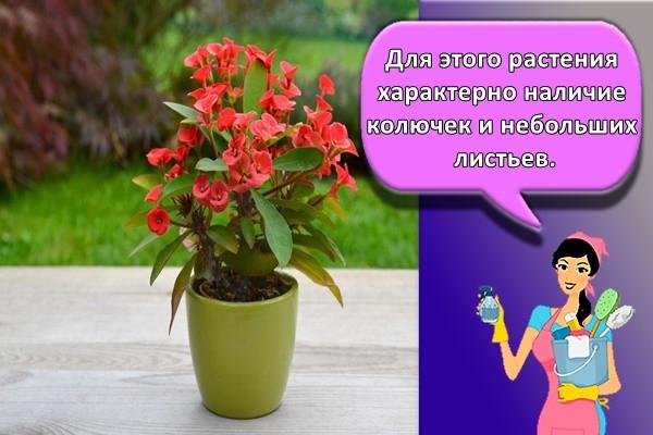 Для этого растения характерно наличие колючек и небольших листьев.