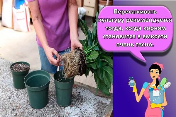 Пересаживать культуру рекомендуется тогда, когда корням становится в емкости очень тесно.