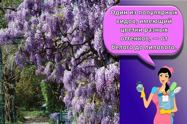 Один из популярных видов, имеющий цветки разных оттенков, — от белого до лилового.