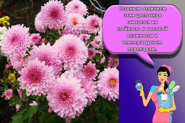 Главным отличием этих цветочков считается их стойкость к высокой влажности и температурным перепадам.