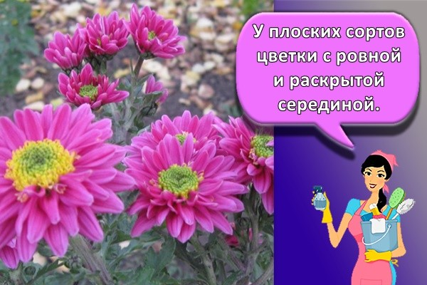 У плоских сортов цветки с ровной и раскрытой серединой.