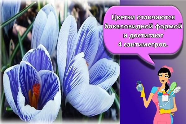 Цветки отличаются бокаловидной формой и достигают 4 сантиметров.