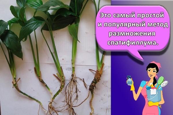 Это самый простой и популярный метод размножения спатифиллума.