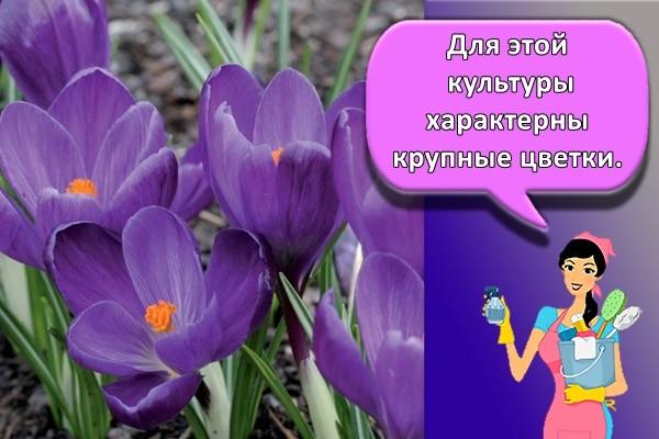 Для этой культуры характерны крупные цветки.