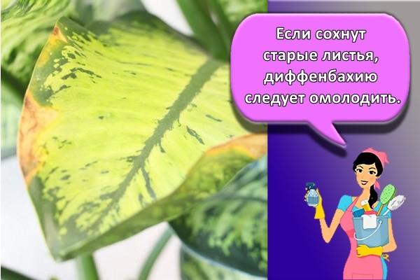 Если сохнут старые листья, диффенбахию следует омолодить.
