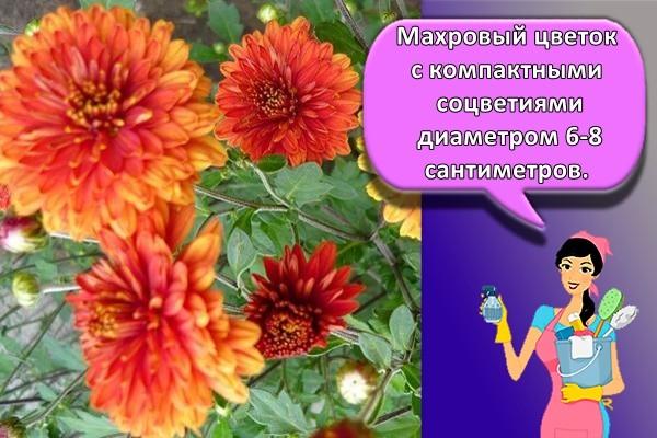 Махровый цветок с компактными соцветиями диаметром 6-8 сантиметров.