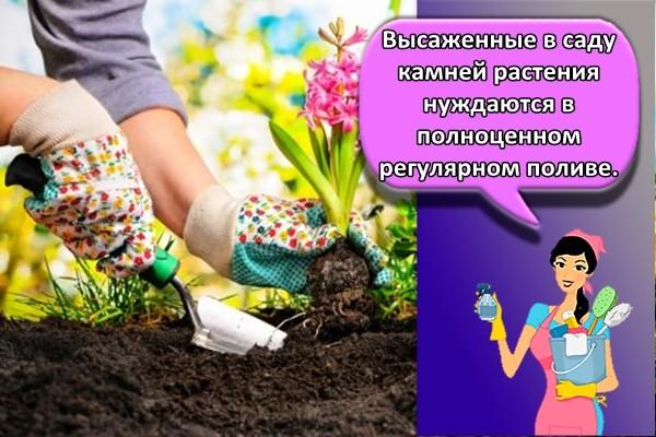 Высаженные в саду камней растения нуждаются в полноценном регулярном поливе.