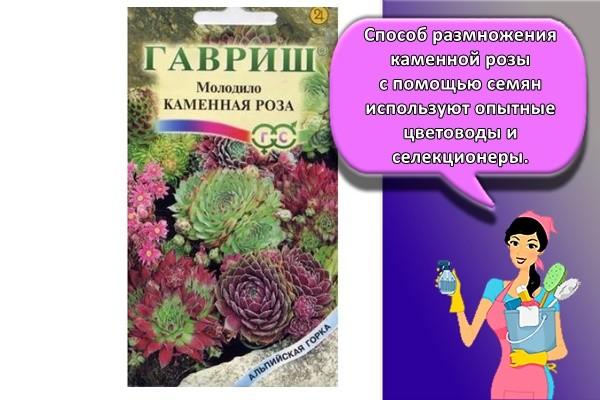 Способ размножения каменной розы с помощью семян используют опытные цветоводы и селекционеры.